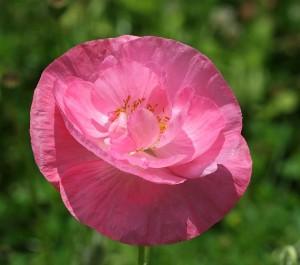 poppy-388547_640