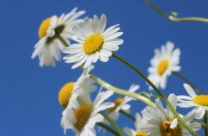 daisies-388946_1920_306x200_crop
