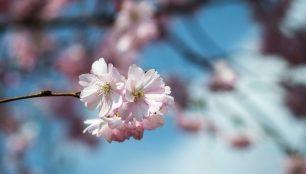 cherry-blossom-1327810_1920_306x200_crop