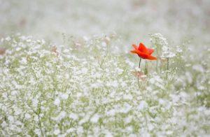 poppy-1128683_1280_306x200_crop
